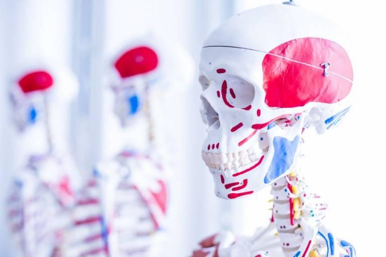 Anatominen malli luurangosta.