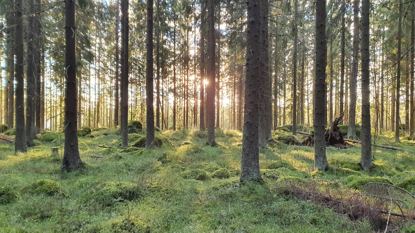 Puita metsässä, valo kajastuu puiden takaa.