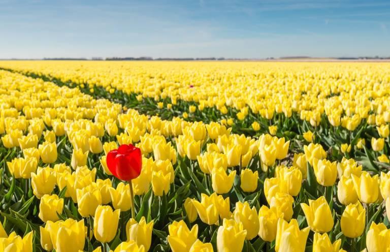 Kukkaketo, keltaisia kukkia ja yksi erottuva punainen.