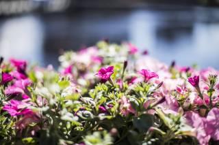 Pink bush flowers